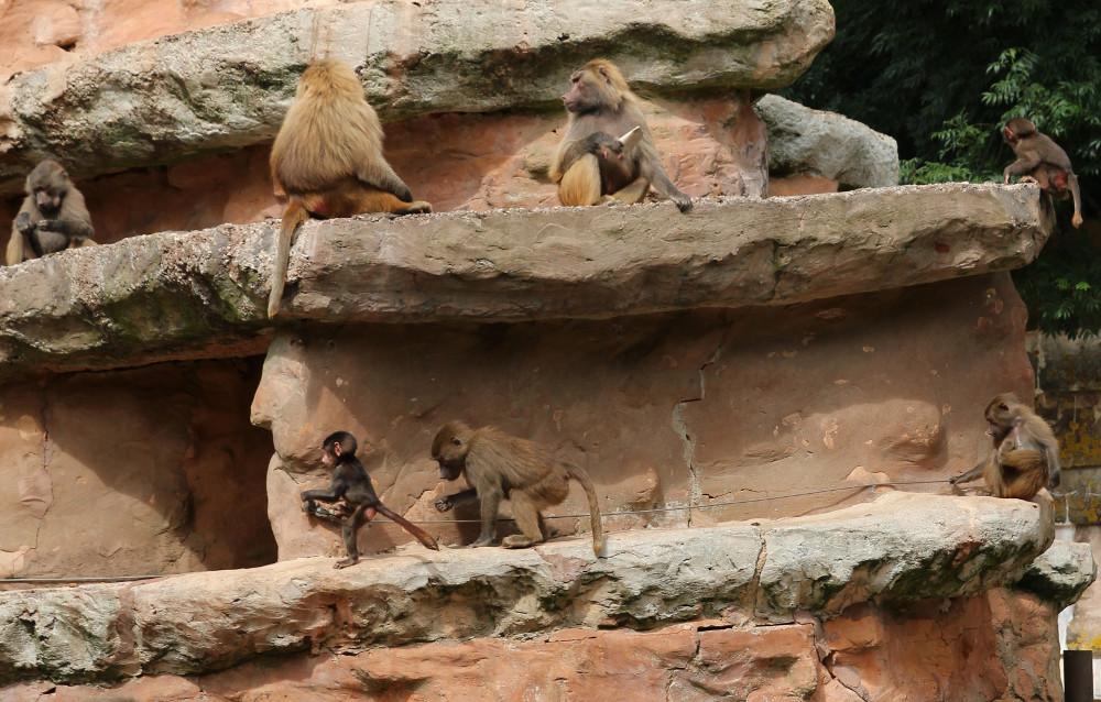 The monkeys at Paignton Zoo