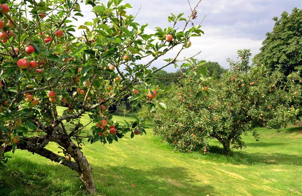 The orchard in the grouinds at Blackberry Cottage, Slapton