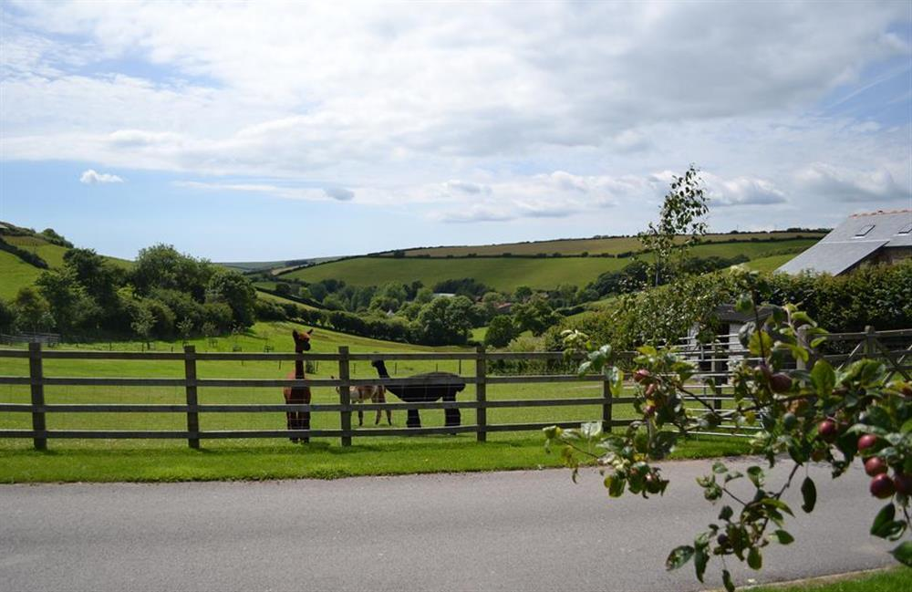 Driveway and alpacas at Clarence Cottage, Stoke Fleming