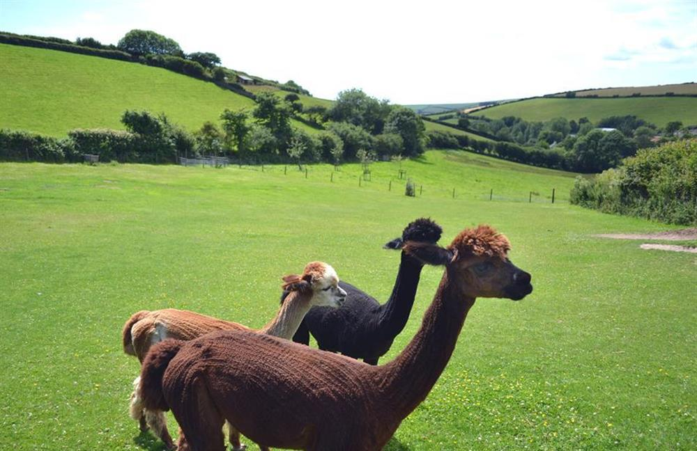 The resident alpacas and view at Clarence Cottage, Stoke Fleming