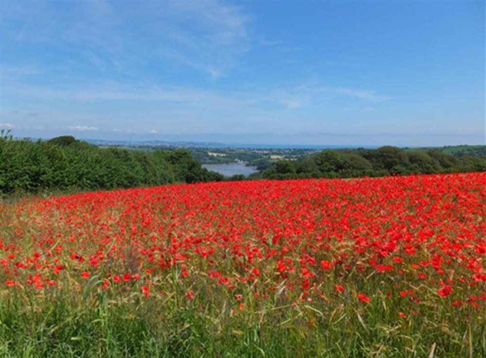 Early summer poppy fields just outside Dittisham at Homelands, Dittisham