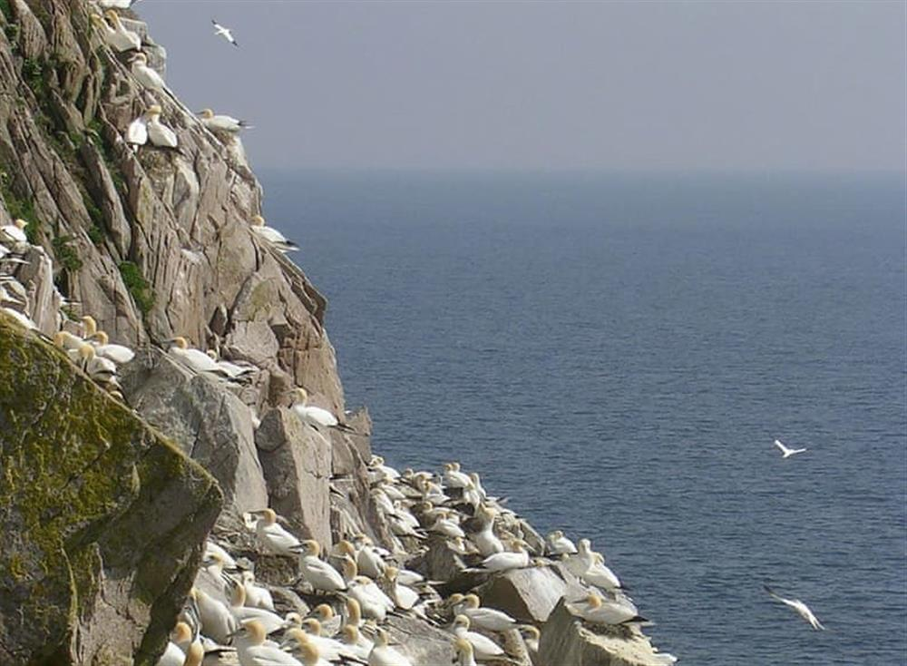 Gannet colony on the Saltee Islands