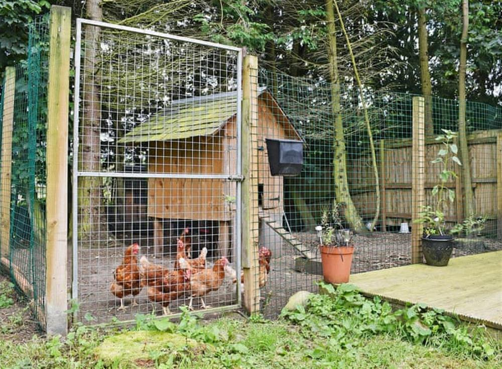 Friendly on-site chickens