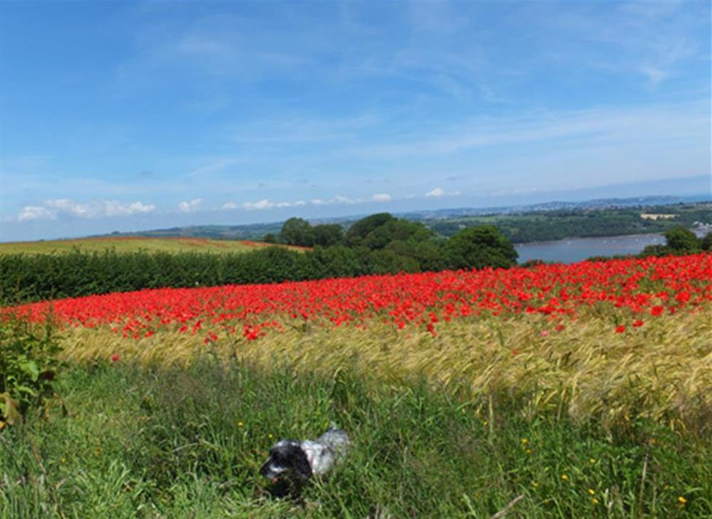 Early summer poppy fields just above Dittisham at The Old  Bakehouse, Dittisham
